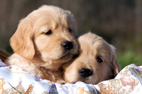 Golden Retrievers & Puppies